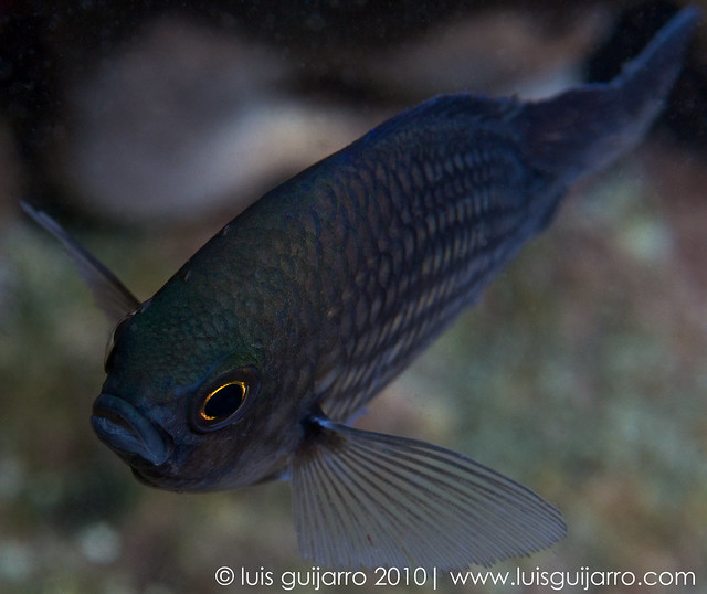 Flying Chromis-17/365