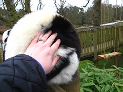 I'm petting a lemur