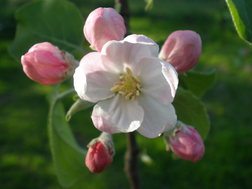 Open Blossom with 5 Buds