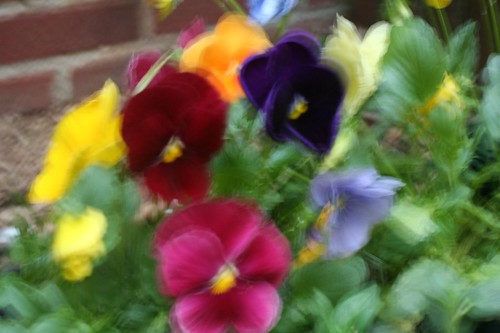 'Perfect' Pansies