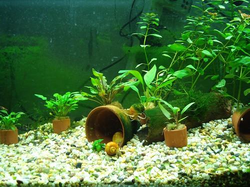 Cherry Shrimp Breeding Tank