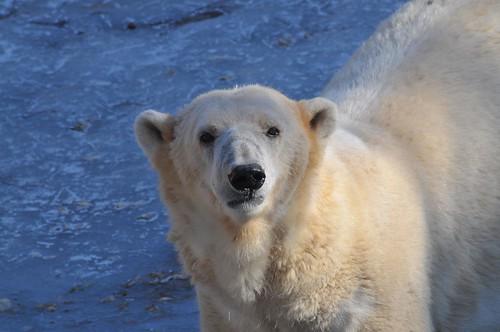 Eisbärin Aika im Tierpark Friedrichsfelde