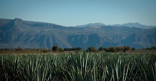 Parcela con Agaves