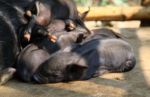 Pig breeding in India's Nagaland