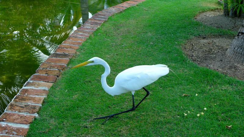 Domincan Egret