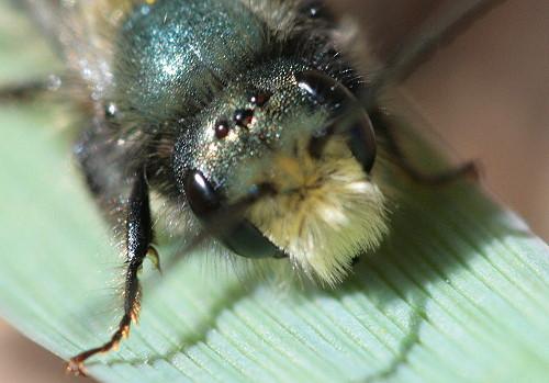 Blue Orchard Bee, Osmia lignaria