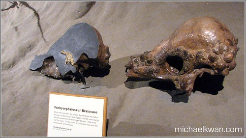Thick-Domed Skull Pachycephalosaurus - Royal Tyrrell Museum
