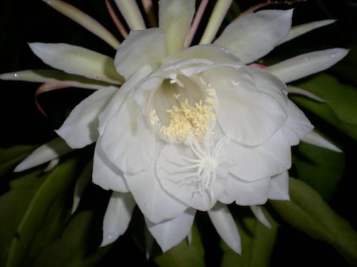 Desert Rose 6