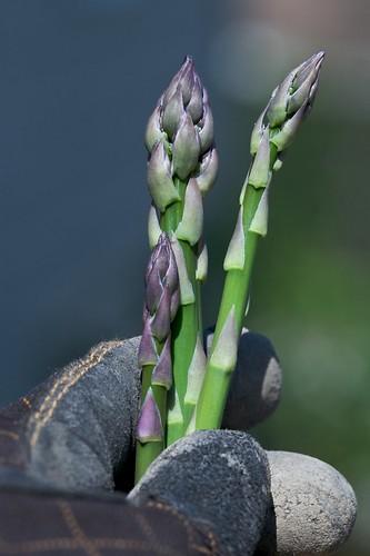 harvesting-asparagus