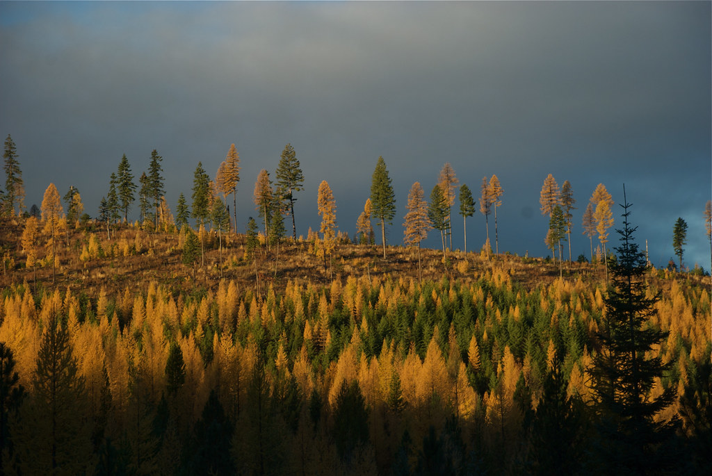 Larch in the Thompson River drainage