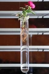 Reagenzglas_Pflanzen_02