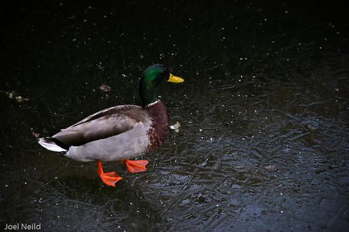 MMX 018 Duck