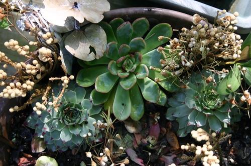 Wedding - Succulents One Month Later - Vicky's Bouquet From Above
