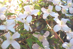 Arnold Arboretum, 15 May 2010: Lilac (dogwood?...