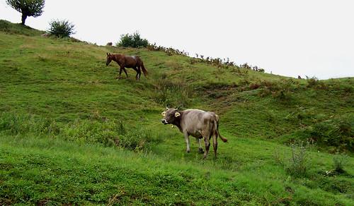 Vaca y caballo pastando apaciblemente en las afueras de Botiza
