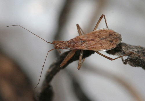 Damsel Bug, Nabis sp.