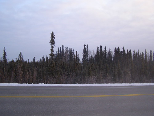 scraggly little permafrost trees