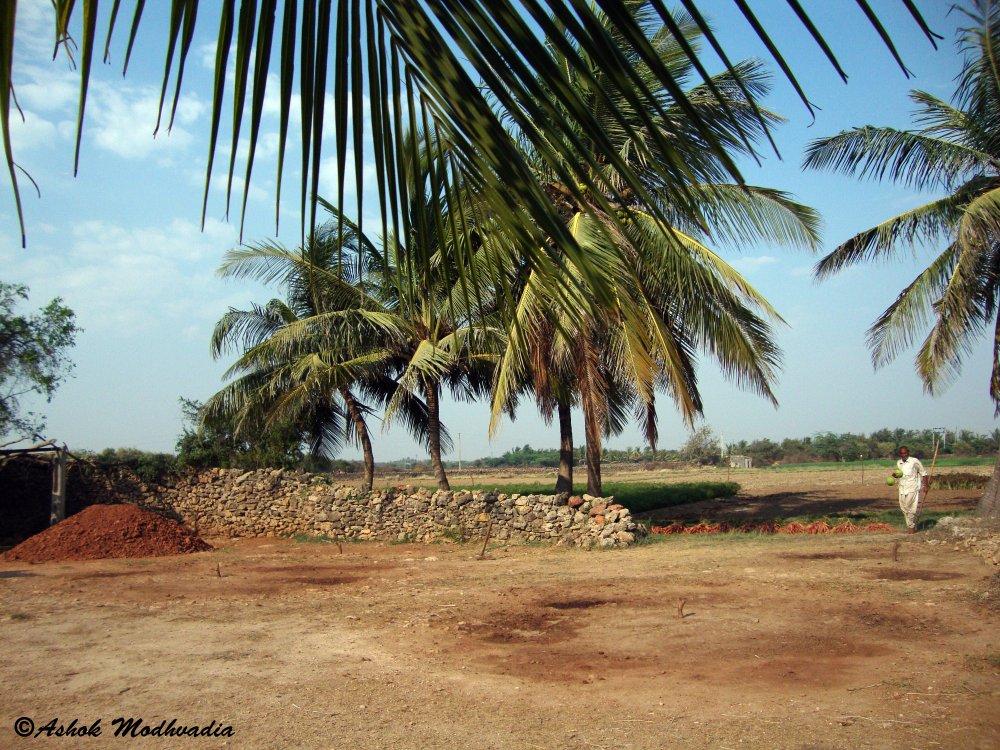 Coconut tree 02