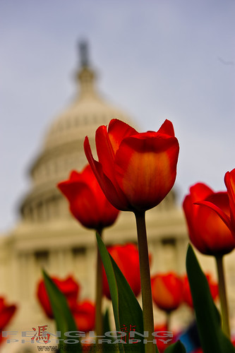 Tulips in front of Capital