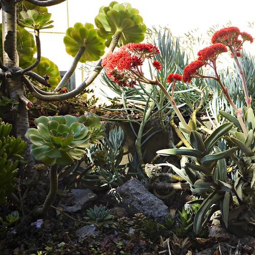 garden snapshot, succulents