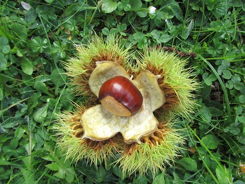 Lebensbaumfrucht