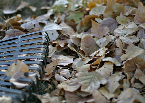 Leaves to rake
