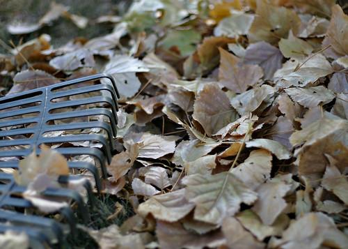 Leaves to rake