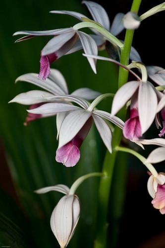 365/51: Orchids