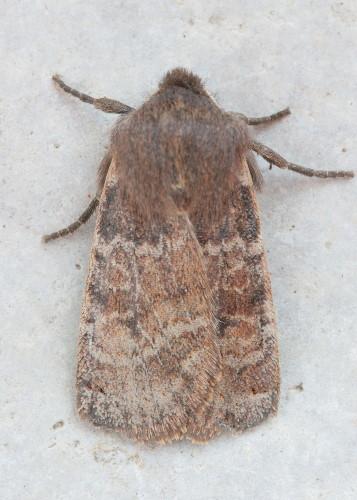 9881 - Homoglaea hircina - Goat Sallow