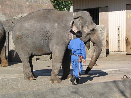 金沢動物園のインドゾウ(Indian Elephant at Kanazawa Ecological Zoo, Japan)