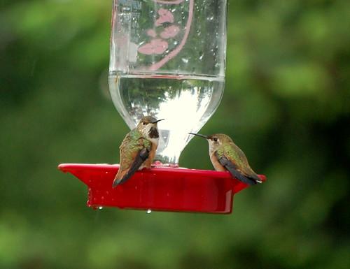 Lady Hummingbirds
