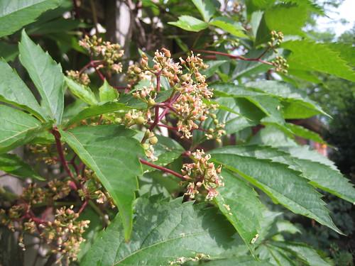 Grape woodbine in bloom