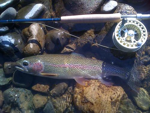 Middle Fork Willamette Rainbow