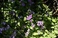 円海山ふれあいの小径のムラサキハナナ(Violet hanana at Road of Mt. Enkaisan Furei, Japan)