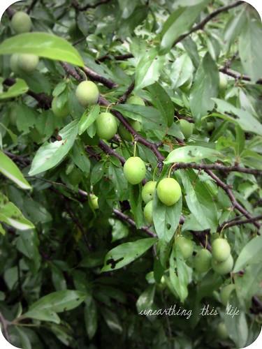 chickasaw plums