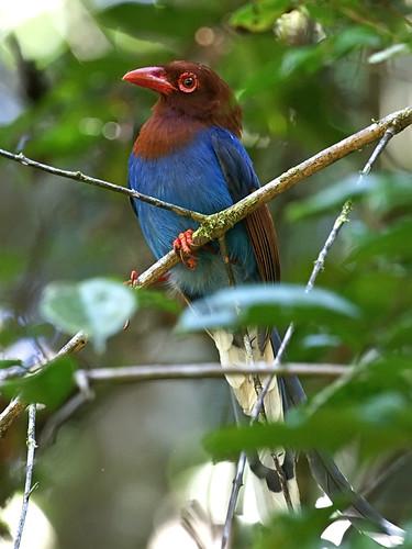 Ceylon Blue Magpie (Urocissa ornata)