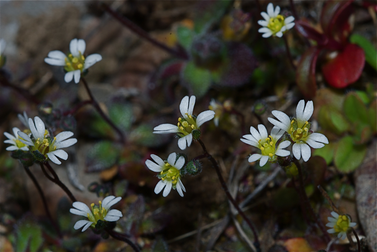 Alpine chickweed