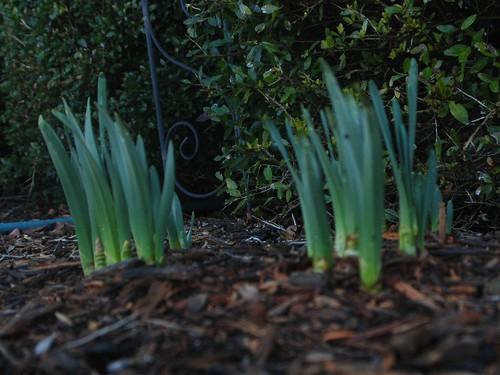 Daffodils 031310