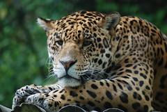Jaguar im Zoo Parc de Beauval