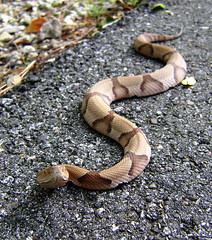 Southern Copperhead (Agkistrodon contortrix co...