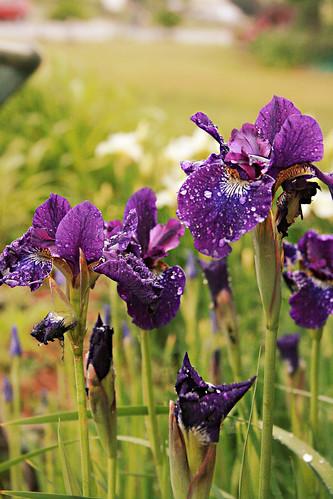365-136 Iris