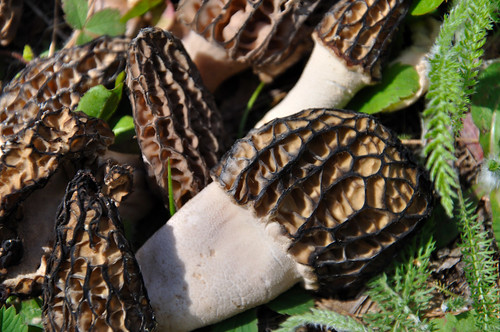 Morchella The True Morels