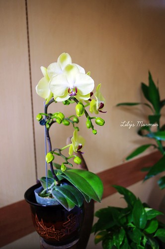 家中美麗的盆栽蘭花。
