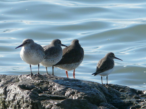 Two knot, a redshank and a dunlin