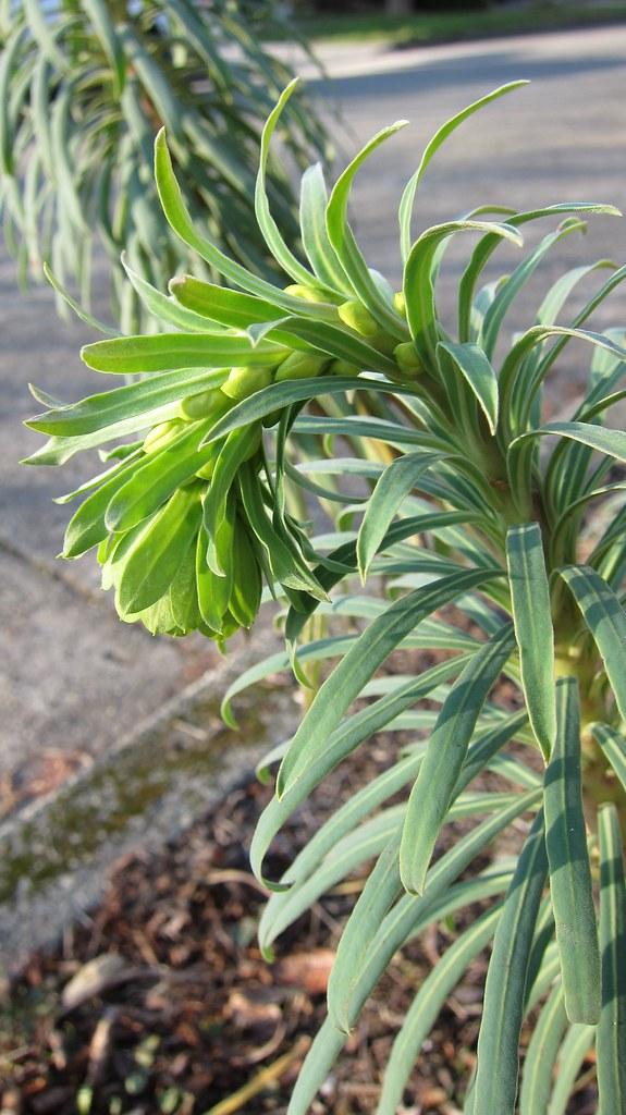 Euphorbia flowers