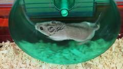 Zippity the Hamster Exercising in His Wheel