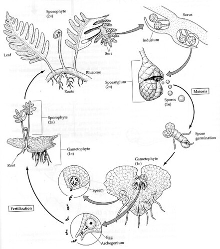 fern_life_cycle
