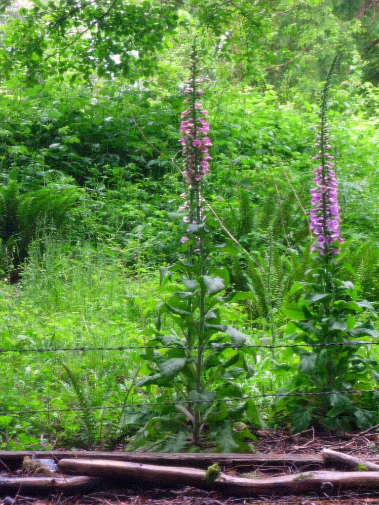 Foxgloves in the Woods 3