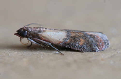 Indian Meal Moth, Plodia interpunctella
