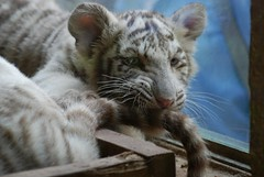 Weiße Tiger im Zoo Parc de Beauval